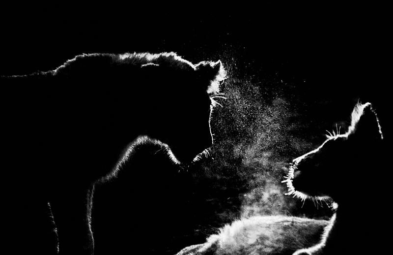 Lion cub sneeze