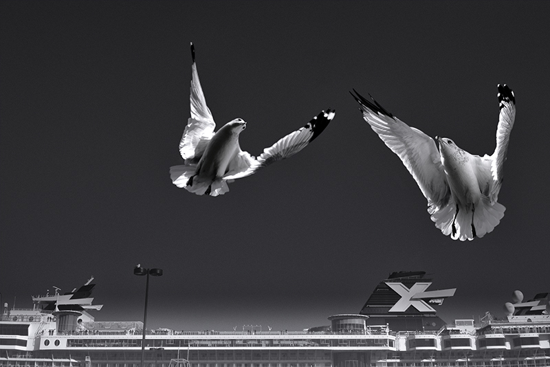 2 ring-billed gulls flying over the Celebrity Summit Cruise Ship leaving Quebec city, Sunday, October 12th 2014