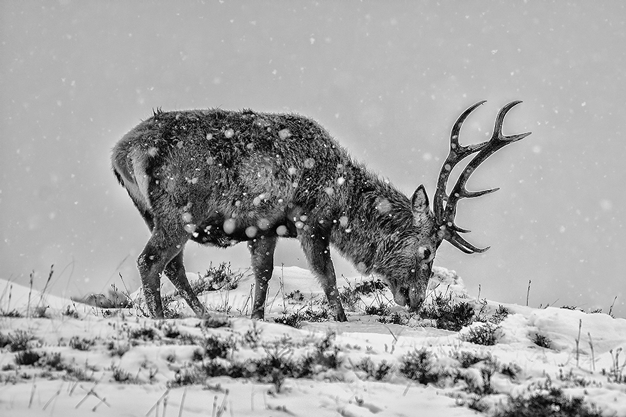 Red deer in snowstorm