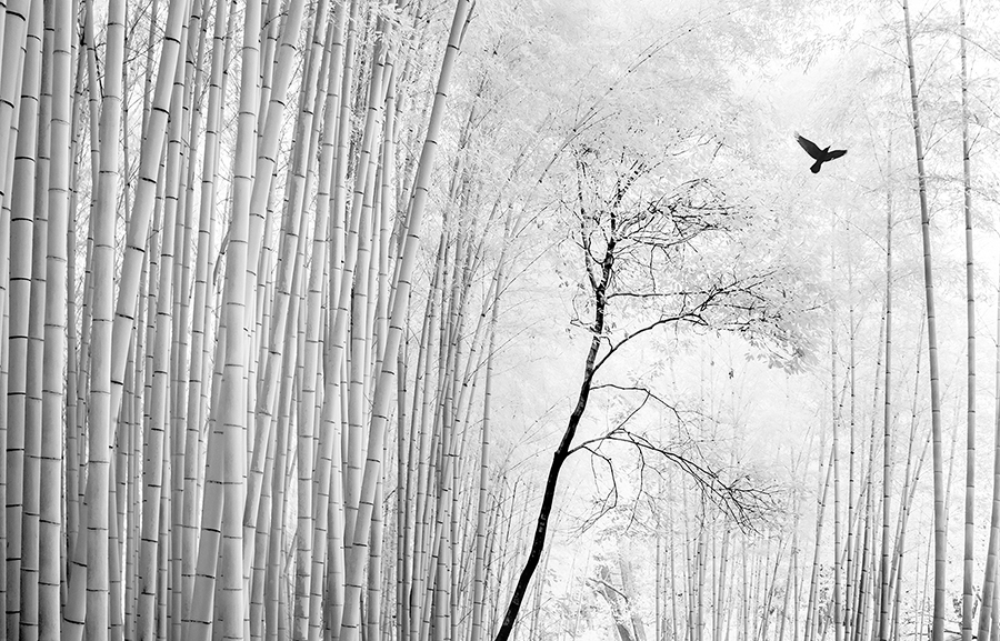 Crow in the Bamboo forest