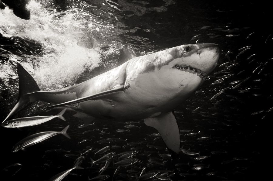 Black Water, Great White