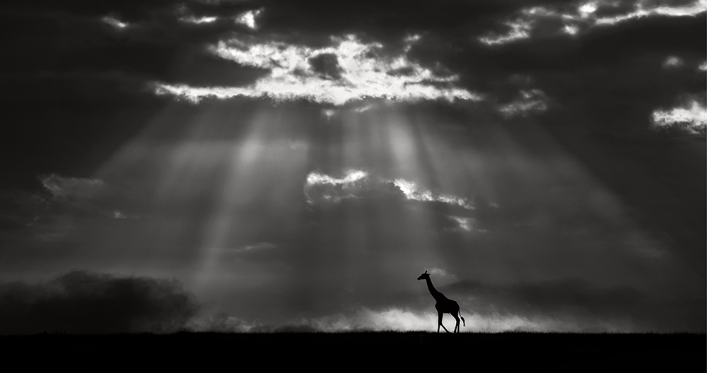 Giraffe at sunrise in the  Masai Mara plains