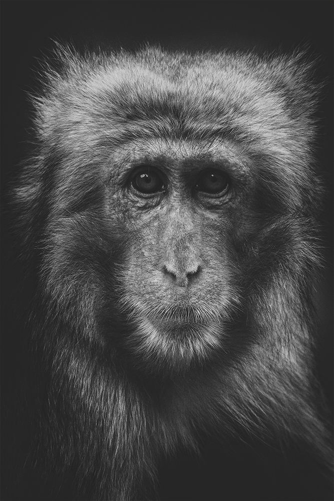 Gaze of japanese macaque