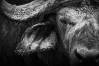 Buffalo close up