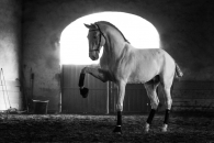 Lusitanos horses stud in the South of France