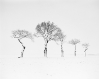 Baobabs in the snow