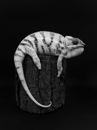 White chameleon in dark
