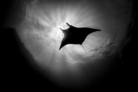 Oceanic Manta Ray Silhouette