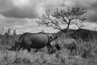 Rhinos awaiting the storm