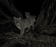 Cougar Twins